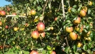 Apple-Tree-at-The-Glamping-Orchard